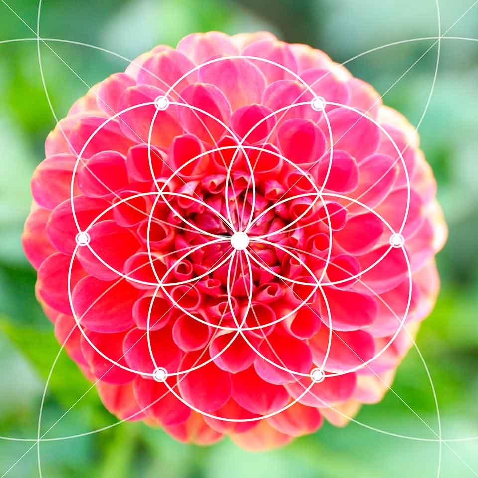Fibonacci en las flores