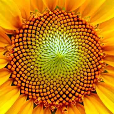Fibonacci en los girasoles