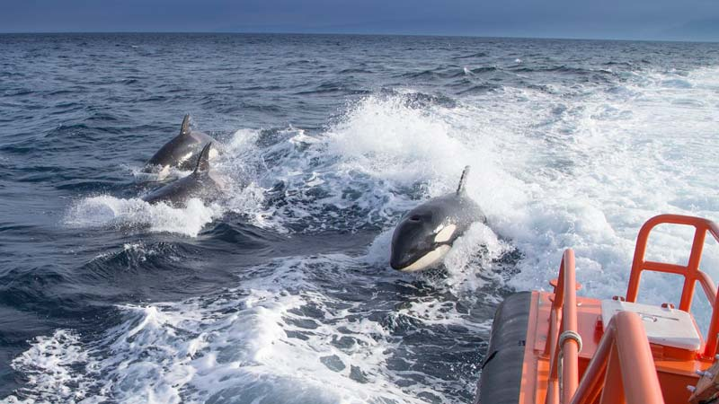 Imagen de las orcas divisadas en la costa de Galicia
