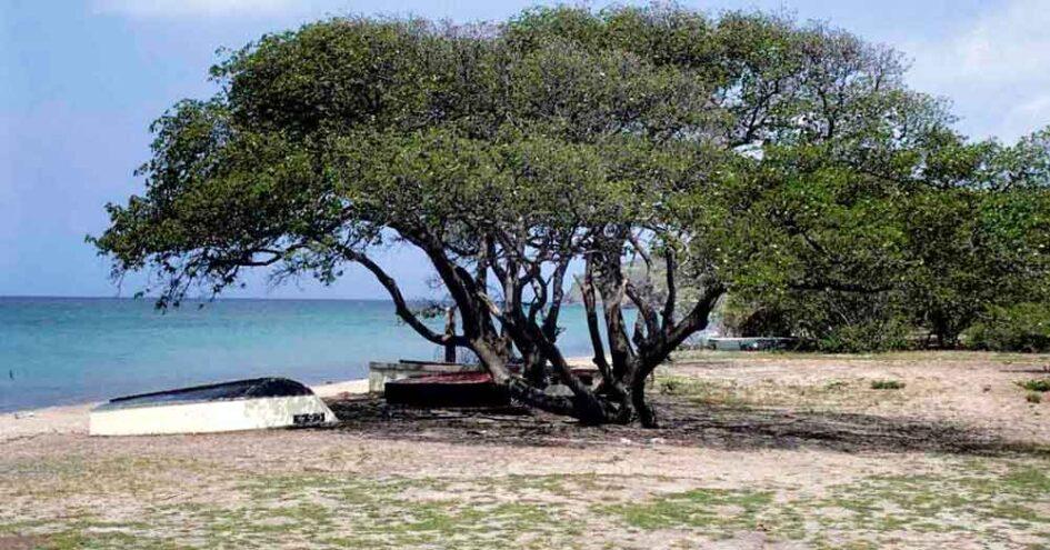 El manzanillo o el árbol de la muerte, el más venenoso del mundo