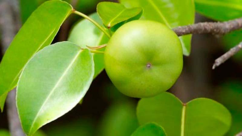La fruta del manzanillo