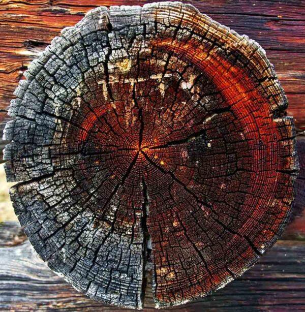 La dendrocronología, la ciencia que analiza los anillos de los árboles