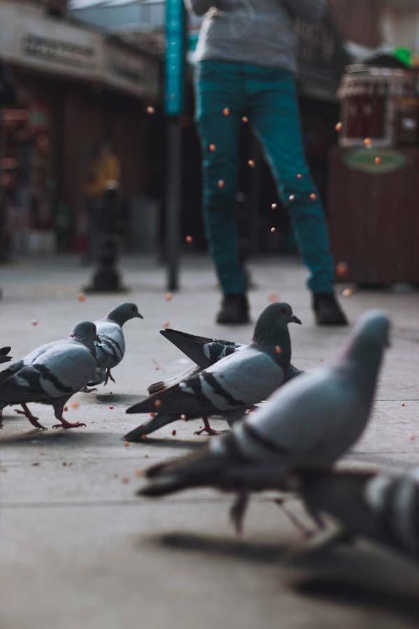 Alimentar palomas