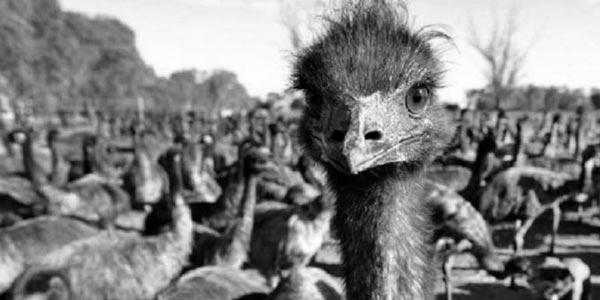 Fotografía de los emús invasores