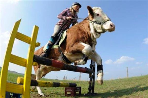 Montar vacas en Escocia entre las leyes absurdas
