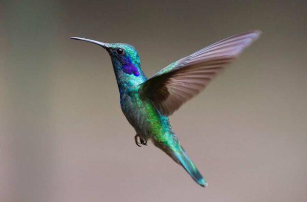 Algunas curiosidades y datos sorprendentes sobre el colibrí