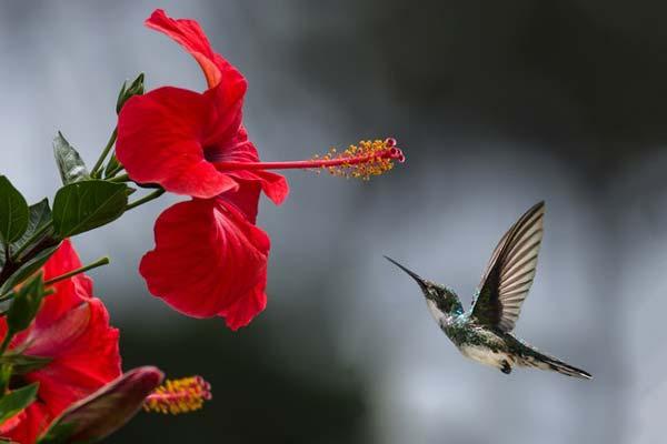 Un colibrí acercándose a una flor