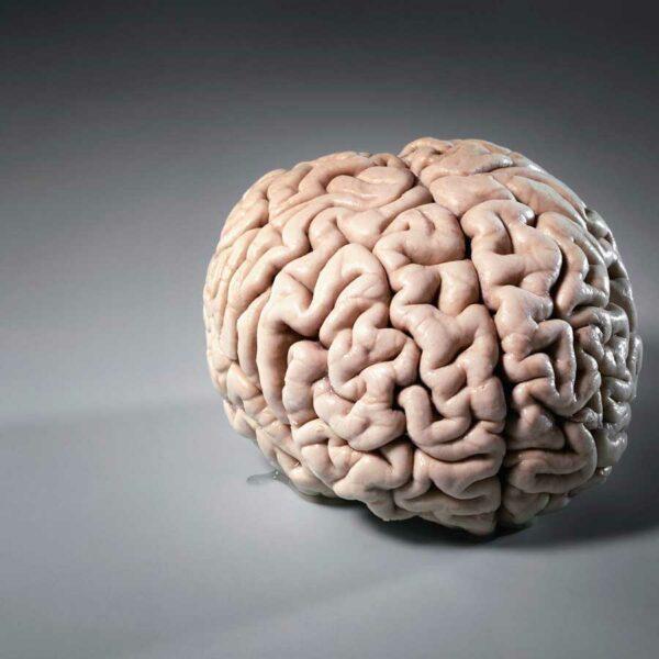 La insólita creación de un mini cerebro en laboratorio