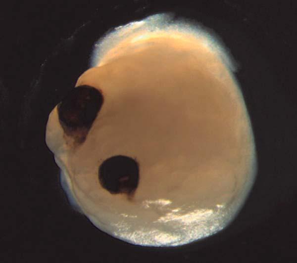 Fotografía del organoide con aparato óptico desarrollado
